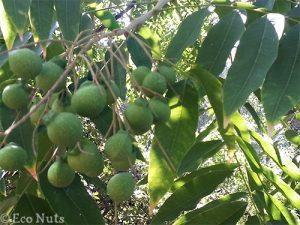 Soap-Berries-on-Tree