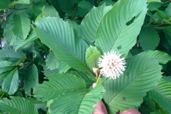 Kratom – a non-addictive painkiller?